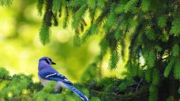 Blue Jay Passerine Bird HD Wallpaper 1034