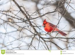 northern cadinal bird cardinals family cardinalidae passerine birds 1098
