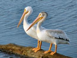 two american white pelicans photo jpg 859