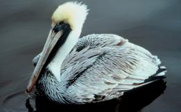 Pelican Bird Wallpapers 484
