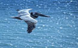 View And Download Pelican Water Bird HD Wallpapers 1598