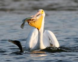 Best Pelican Bird Photography Wallpaper | Best Pelican Bird Computer 1483