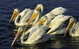 pelican bird wide hd wallpaper download pelican bird images free 549