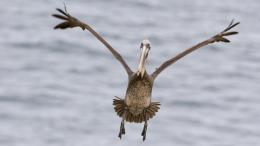 Pelican Bird Wallpapers 1117