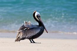 pelican bird beach h wallpaper background 788