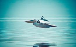 Pelican Water Bird HD Wallpapers 143