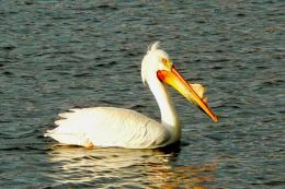 The Pelican Beautiful Bird Wallpapers & Facts 2014 544