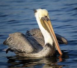 Best Pelican Bird Photography Wallpaper | Best Pelican Bird Computer 234