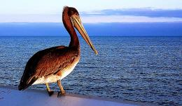 pelican water bird HD Wallpapers 1906