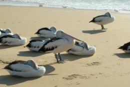 pelican bird beach p wallpaper background 417