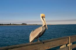 bird pelican high resolution wallpaper download pelican bird images 918