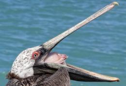 The Pelican Beautiful Bird Wallpapers & Facts 2014 134
