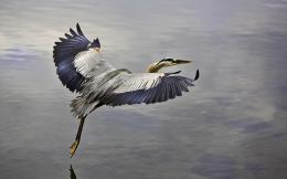 pelican bird hd wallpaper for desktop background download pelican bird 1027