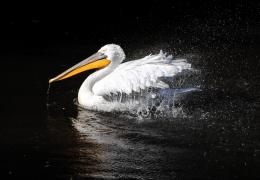 Pelican Water Bird HD Wallpapers 1427
