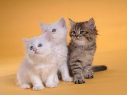 Persian Cat hd wallpapers 478