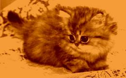 Cute persian kitty cats animals 1050
