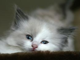 persian cat hd wallpapers best desktop pictures widescreen persian cat 686
