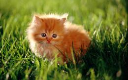 Persian Cats Latest Wallpapers With Resolutions 1920×1200 Pixel 1260