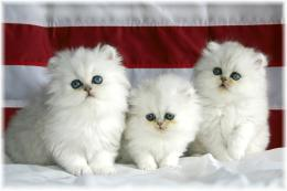 persian cat with blue eyes hd 55cute cat pictures and wallpapers 324