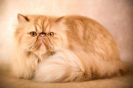 persian cat hd wallpapers wonderful desktop backgrounds widescreen 1297