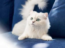 Persian Cat HD Wallpaper1024×768 143