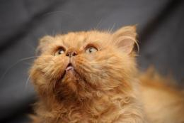 red persian cats hd thursday breed showcasepersian58 photos 923