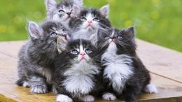 Persian Cats Wallpaper,Images,Pictures,Photos,HD Wallpapers 1194