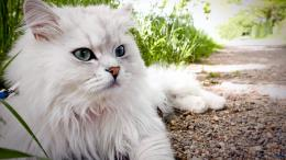 wallpaper fluffy persian cat categories cat downloads 4168 added 11 20 1382