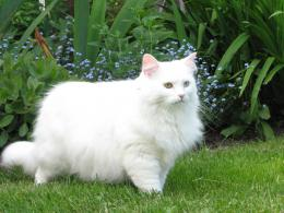 White Persian Cat Hd Wallpaper10 740