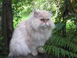 persian chubby cat white persian cat wallpapers of persian cat 1433