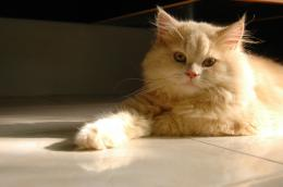 persian cat hd wallpapers cool desktop widescreen images persian cat 352