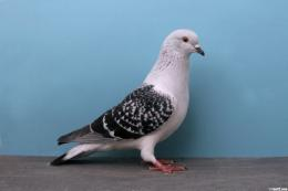Ice Pigeon YC619 Bob Heal 300x199 Pigeon Wallpapers HD 709