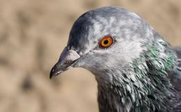 Pigeon new hd wallpapers widescreen beautiful images of pigeon birds 1904