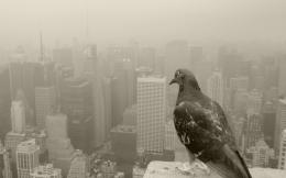 Pigeon New HD Wallpapers 977