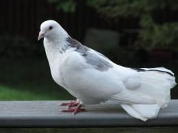 Pigeon New HD Wallpapers 1750