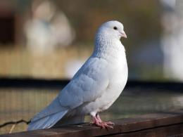 Pigeon New HD Wallpapers 136