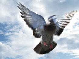 Pigeon New HD Wallpapers 1107