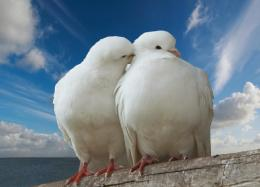 pigeon bird wallpaper 2013 pigeon bird wallpaper 2013 pigeon bird 1675