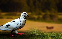 pigeon free desktop wallpapers wallpapers for free download hd new 1320
