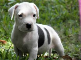 pitbull puppy dog hd wallpaper beautiful desktop dog puppy images 990