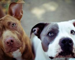 Bully Blog Free Pit Bull Wallpaper Downloads 306