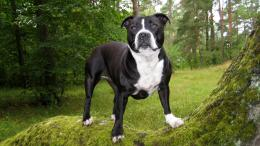 black pitbull dog pictures fresh new hd wallpapers of pitbull dog 1414