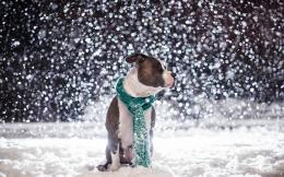 2013 05 08 animal picture pitbull dog sitting snow hd wallpaper 212