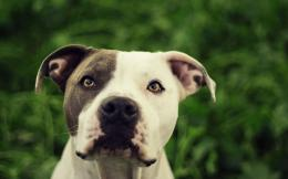 pitbull dog hd wallpapers pitbull desktop images fullscreen 976
