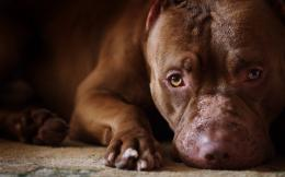 Pit Bull WallpaperDogs Wallpaper 1360