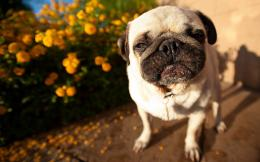 pug dog hd desktop wallpapers new beautiful images of pug dog free 248
