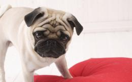 Pug Wallpapers 1497
