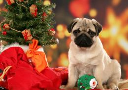 cute pug dog photos free download best hd wallpapers of pug dog 1440