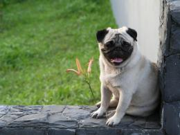 Pug Dog wallpapers free download top widescreen hd images of pug dog 801