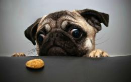 Pug Cookie Wallpapers Pictures Photos Images 1979